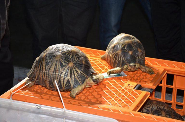 Trafic d'espèces protégées : (200) Deux cent tortues radiées rapatriées