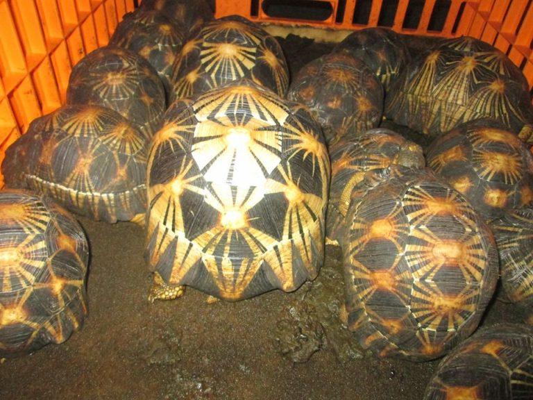 72 tortues RADIATA sont rapatriées depuis  les îles Comores