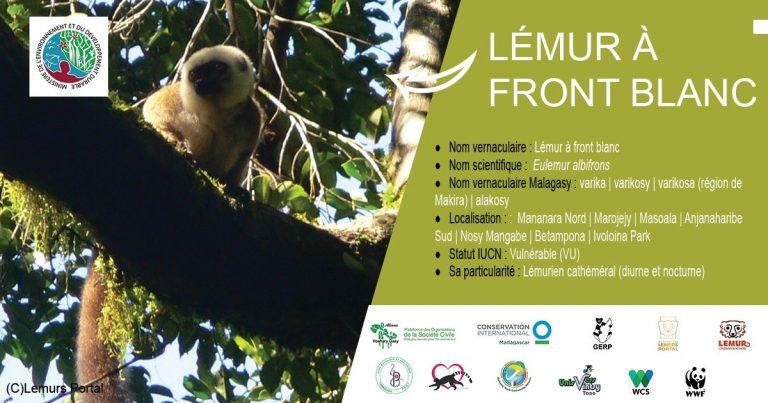 Lémur à front blanc (Eulemur albifrons)
