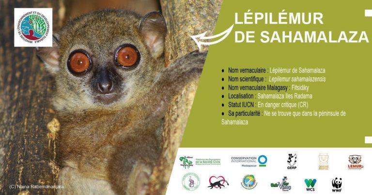 Lépilémur de Sahamalaza (Lepilemur sahamalazensis)